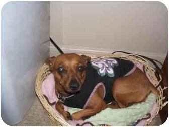 Miniature Pinscher Dog for adoption in SCOTTSDALE, Arizona - CINNAMON