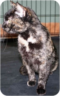 Domestic Mediumhair Cat for adoption in Arkadelphia, Arkansas - Cinnamon