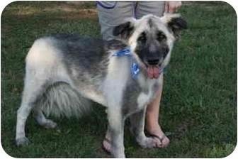 Shepherd (Unknown Type) Dog for adoption in Hendersonville, Tennessee - Shadow