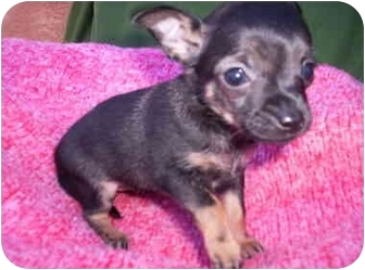 Chihuahua Mix Puppy for adoption in Albuquerque, New Mexico - Loralie