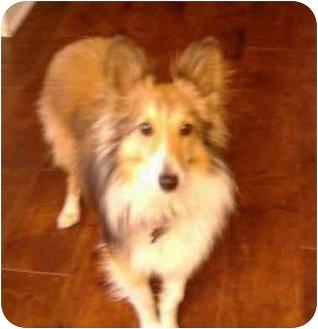 Sheltie, Shetland Sheepdog Dog for adoption in La Habra, California - Chance