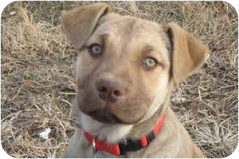 Mountain Cur Mix Puppy for adoption in Plainfield, Connecticut - GYPSY
