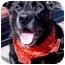 Photo 1 - Labrador Retriever/Flat-Coated Retriever Mix Dog for adoption in Huntington, New York - Jagger