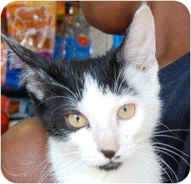 Domestic Shorthair Kitten for adoption in Brooklyn, New York - Roma