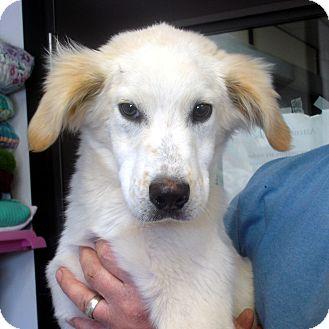Labrador Retriever/English Setter Mix Dog for adoption in Manassas, Virginia - Cheech