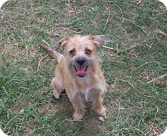 Cairn Terrier/Schnauzer (Miniature) Mix Dog for adoption in Waller, Texas - Lizzie