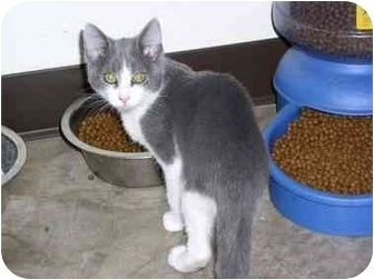 Domestic Mediumhair Cat for adoption in Tahlequah, Oklahoma - Max