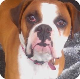 Boxer Dog for adoption in Reno, Nevada - Rogue