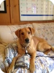 Golden Retriever/Retriever (Unknown Type) Mix Dog for adoption in Saskatoon, Saskatchewan - Max