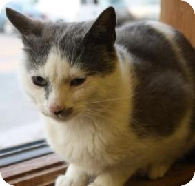 Domestic Shorthair Cat for adoption in West Des Moines, Iowa - MacBeth