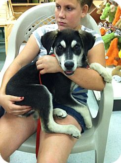 Husky Mix Puppy for adoption in Shirley, New York - Zeus