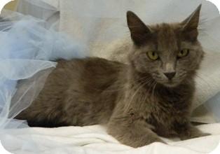 Domestic Shorthair Cat for adoption in Columbus, Nebraska - Trina