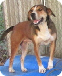 Shepherd (Unknown Type)/Hound (Unknown Type) Mix Dog for adoption in Tahlequah, Oklahoma - Hoss