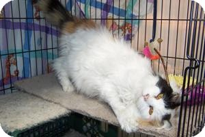 Domestic Longhair Cat for adoption in Pueblo West, Colorado - Cookie