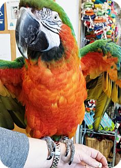 Macaw for adoption in Hubertus, Wisconsin - Harley