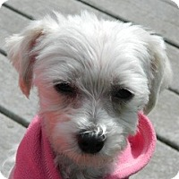 Adopt A Pet :: Pippen - Vancouver, WA