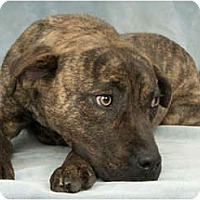 Adopt A Pet :: Tiger Lily - Chicago, IL