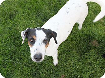 Beagle/Jack Russell Terrier Mix Dog for adoption in Bend, Oregon - Mr. Peabody - Family Dog!
