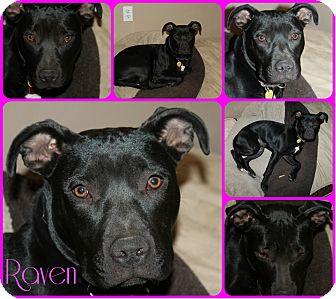American Pit Bull Terrier Mix Dog for adoption in Spokane, Washington - Raven