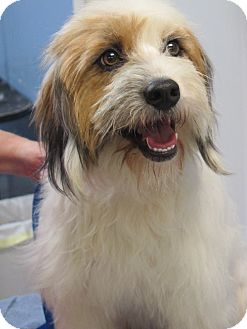 Lhasa Apso/Terrier (Unknown Type, Small) Mix Dog for adoption in Allentown, Pennsylvania - Sonnet