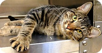 Domestic Shorthair Cat for adoption in Lake Worth, Texas - P. Parker