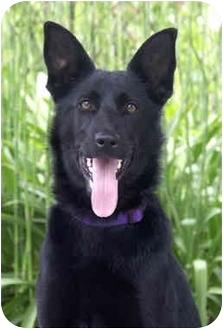 Belgian Shepherd/German Shepherd Dog Mix Dog for adoption in Marina del Rey, California - Dixie
