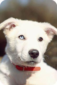 Husky Mix Puppy for adoption in Marietta, Georgia - Abe