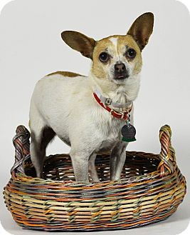 Chihuahua Mix Dog for adoption in Port Washington, New York - Pepper Ann
