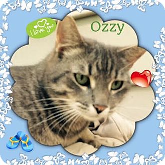 Domestic Shorthair Cat for adoption in Harrisburg, North Carolina - Ozzy