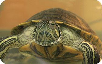 Turtle - Water for adoption in Reading, Pennsylvania - Paddy Wack