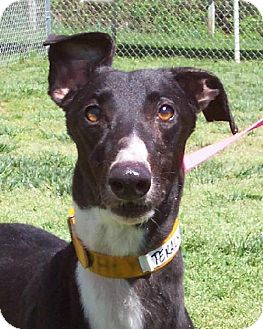 Greyhound Dog for adoption in Randleman, North Carolina - Teralyn
