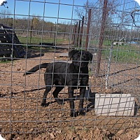 Adopt A Pet :: Blackie - Buchanan Dam, TX