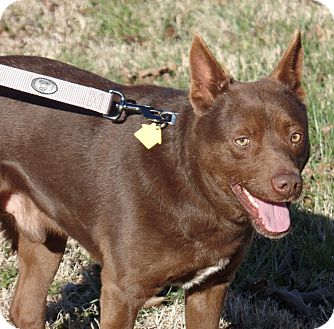 Labrador Retriever/Australian Kelpie Mix Dog for adoption in Haggerstown, Maryland - Red