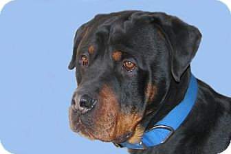 Rottweiler Mix Dog for adoption in Ruidoso, New Mexico - Tyson