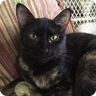Domestic Shorthair Cat for adoption in Toledo, Ohio - Natty