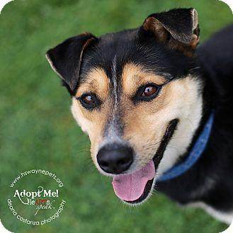 Shepherd (Unknown Type)/Shiba Inu Mix Dog for adoption in Lyons, New York - Chuck