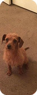 Wirehaired Fox Terrier Mix Dog for adoption in East Hartford, Connecticut - Maverick Adoption pending