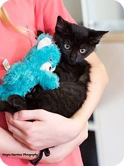 Domestic Shorthair Kitten for adoption in Huntsville, Alabama - Bullwinkle