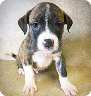 Boxer Mix Puppy for adoption in Fredericksburg, Texas - Leonard