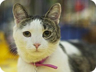 Domestic Shorthair Cat for adoption in Great Falls, Montana - Cassie