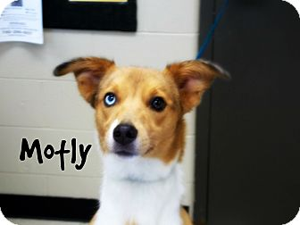 Sheltie, Shetland Sheepdog Mix Dog for adoption in Defiance, Ohio - Motly
