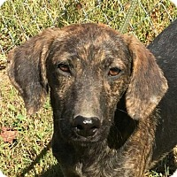 Adopt A Pet :: Theo - Brattleboro, VT