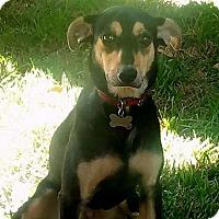 Adopt A Pet :: Vera - Austin, TX