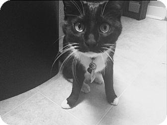 Domestic Shorthair Cat for adoption in Kalamazoo, Michigan - Nebula - PetSmart