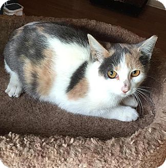 Domestic Shorthair Cat for adoption in Tampa, Florida - Camilla