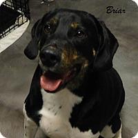 Adopt A Pet :: Briar - Mooresville, IN
