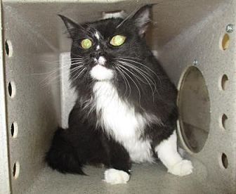 Domestic Mediumhair Cat for adoption in Reno, Nevada - Lux