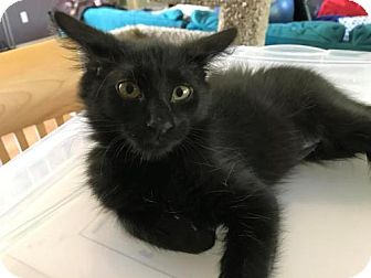Domestic Longhair Kitten for adoption in Chandler, Arizona - Baby J