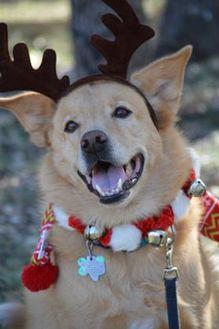 Golden Retriever/Labrador Retriever Mix Dog for adoption in Wimberley, Texas - Buddy