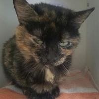 Adopt A Pet :: Nectarine - Seneca, PA